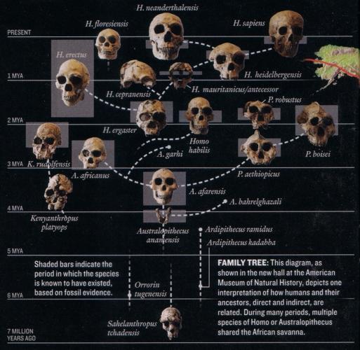 espèce humaine évolution
